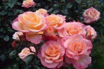 6 ошибок при выращивании роз