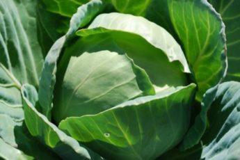 Чтобы капуста росла крепкой и здоровой