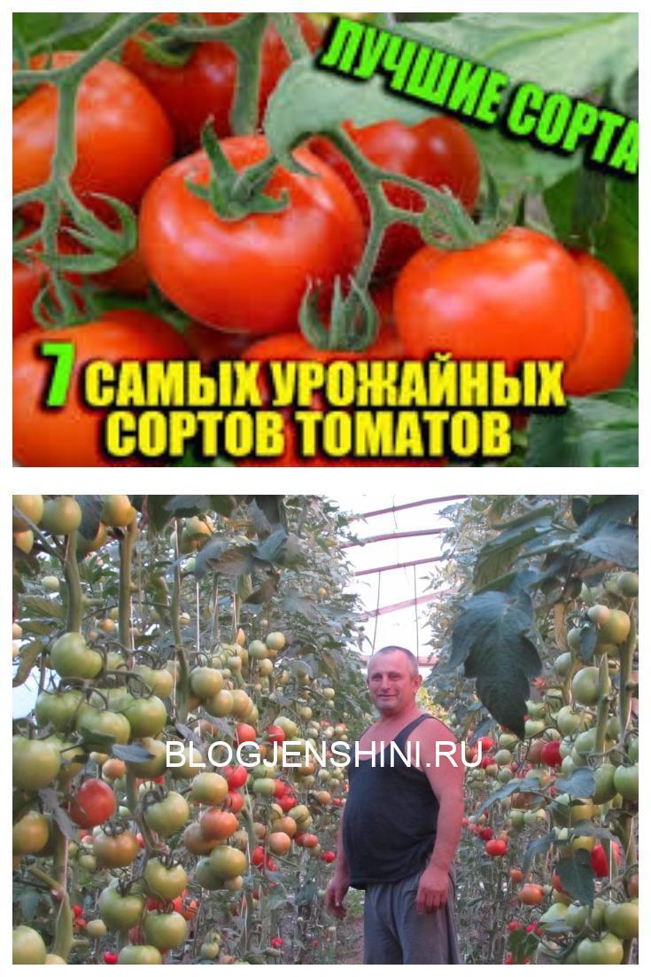 Какие самые урожайные сорта помидор лучше сажать в теплице?