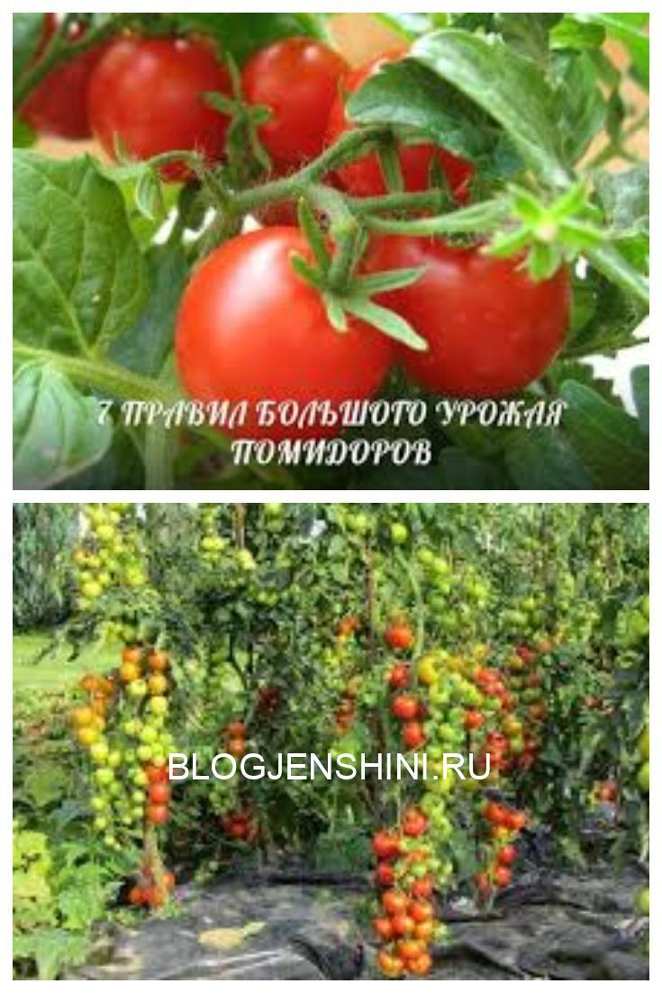 Правила большого урожая помидор.