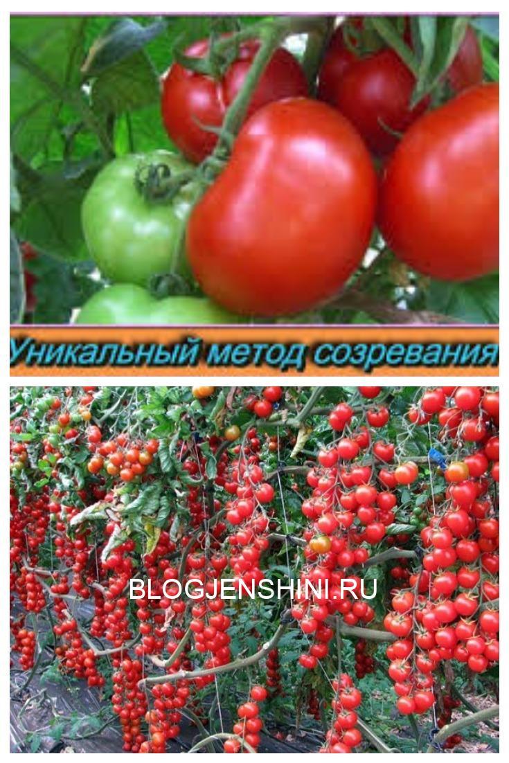 Лучшая подкормка для созревания помидоров