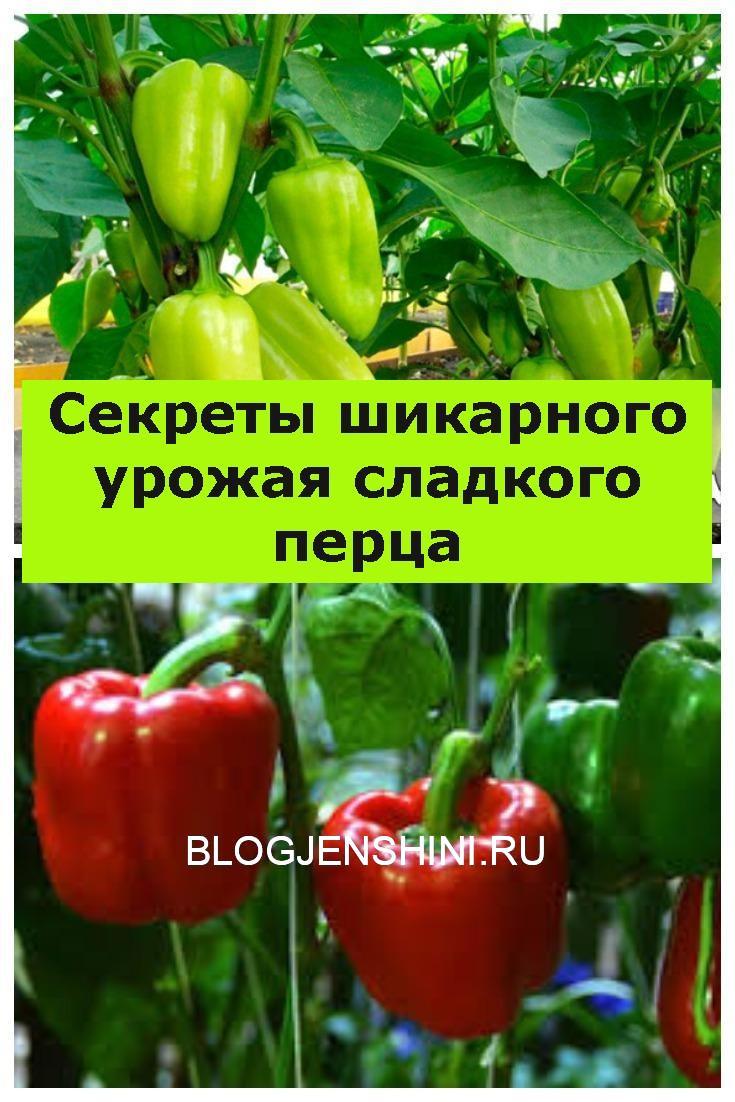Секреты шикарного урожая сладкого перца