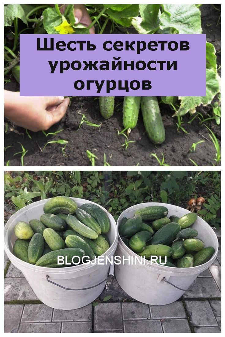 Шесть секретов урожайности огурцов