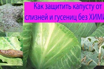 Попробуйте мой проверенный рецептик. Как избавиться от гусениц на капусте без химикатов