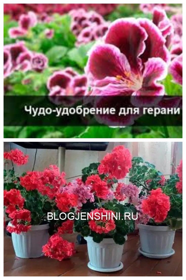 У вас есть в доме герань? А знаете ли вы как ухаживать за геранью, чтобы она цвела и радовала вас буйной растительностью?