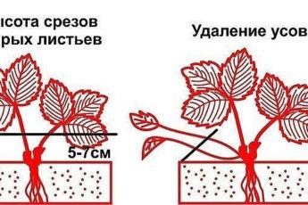 Обрезка листьев клубники: как, когда и зачем? Советы для дачи и огорода своими руками