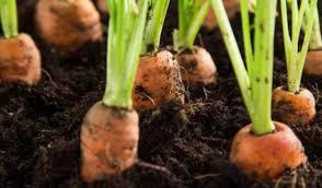 Сажаем морковь без прополки. Супер эффективный способ…