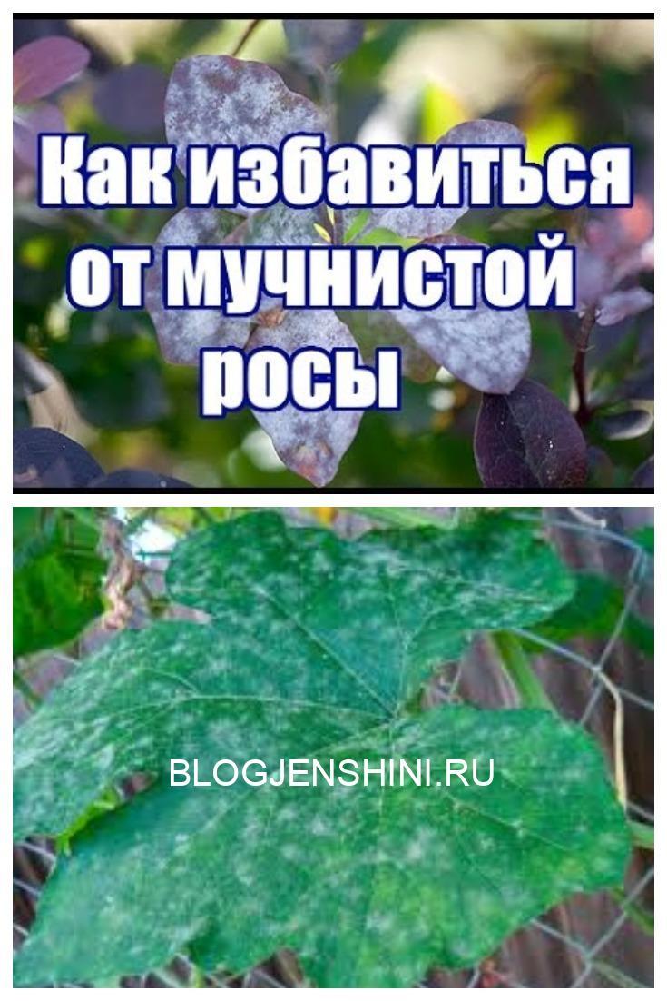 Народные средства против мучнистой росы.