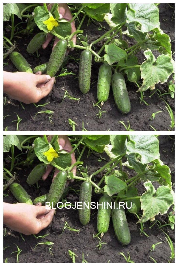 Растворы для хорошего урожая огурчиков.