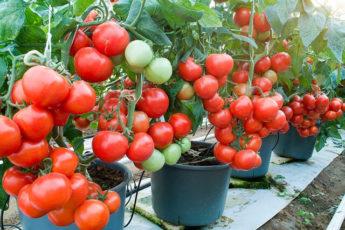 Десерт для плодов помидоров