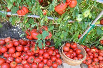 Рецепт для подкормки помидор