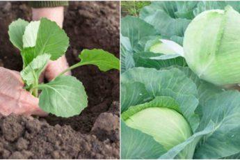 Как вырастить здоровую и красивую капусту. Чем подкормить для хорошей завязи початков