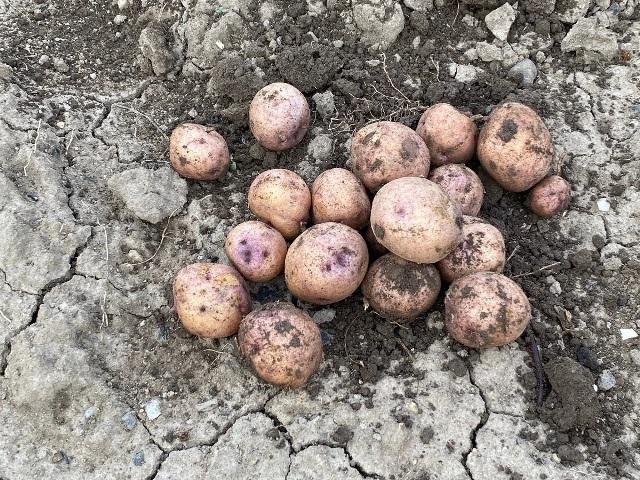 Можно ли уже выкапывать картошку, если ботва пожухла и засохла. Показываю, как выросла картошка 5