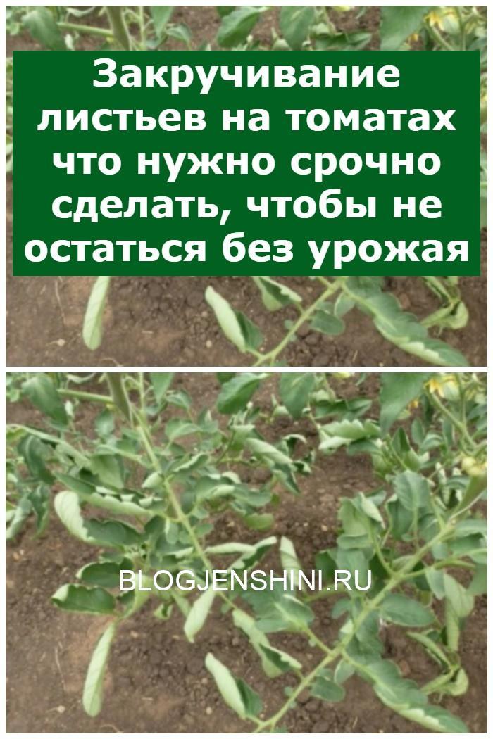 Закручивание листьев на томатах
