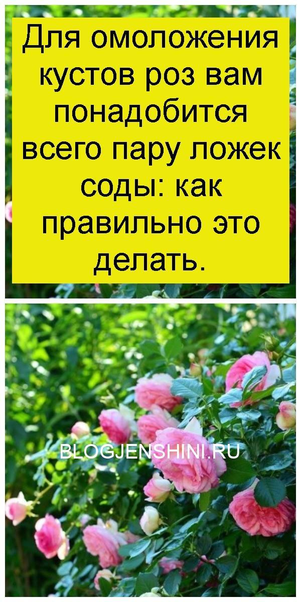 Для омоложения кустов роз вам понадобится всего пару ложек соды: как правильно это делать 4
