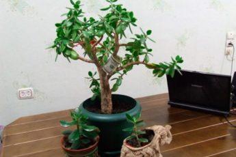 Хитрости правильного выращивания денежного дерева, которые помогут привлечь финансы в ваш дом 1