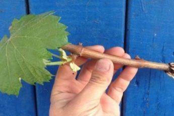 Как легко укоренить черенки винограда за 30 дней: 100 % результат 1