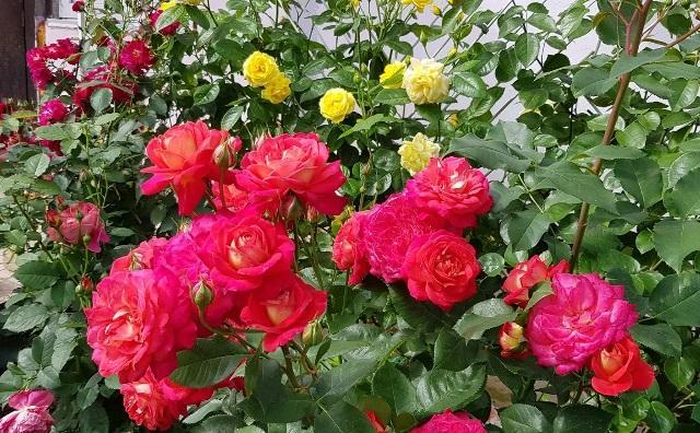 Как правильно обрезать розы после цветения: грубейшие ошибки неопытных розоводов 1