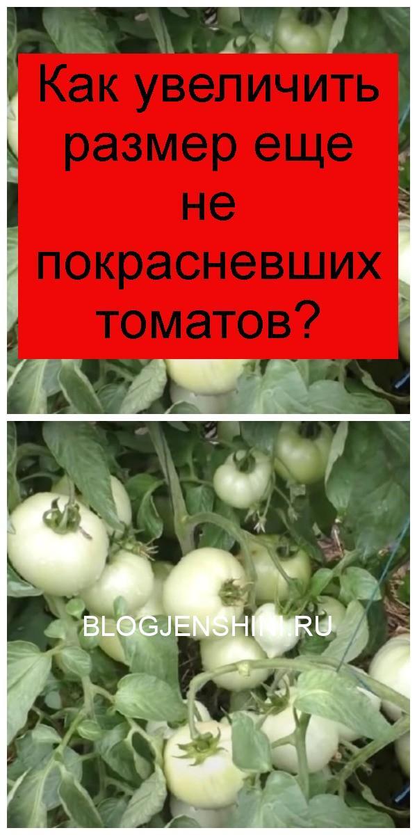 Как увеличить размер еще не покрасневших томатов 4