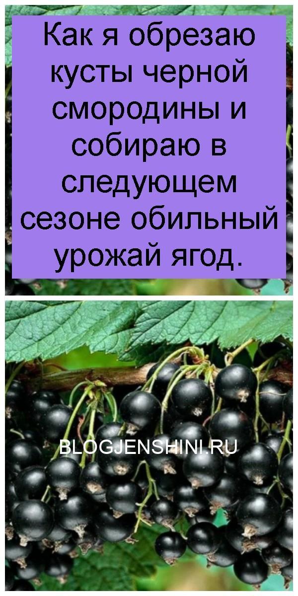 Как я обрезаю кусты черной смородины и собираю в следующем сезоне обильный урожай ягод 4