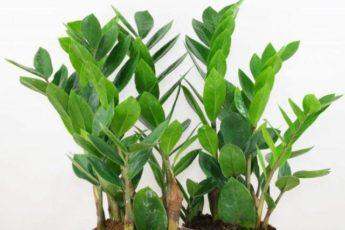 Красавец замиокулькас: 10 причин завести это растение в доме 1