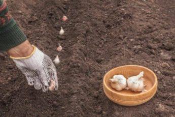 На какую грядку не стоит сажать озимый чеснок, если не хотите получить плохой урожай чеснока 1