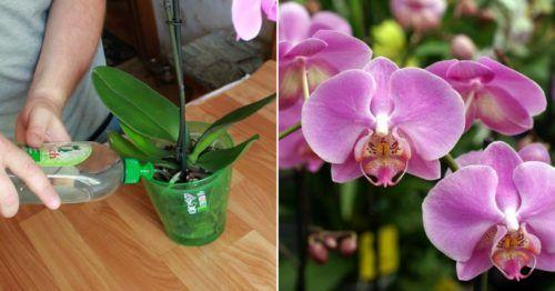 Отличное домашнее удобрение для орхидей. Всего несколько поливов и ваши орхидеи не узнать 1