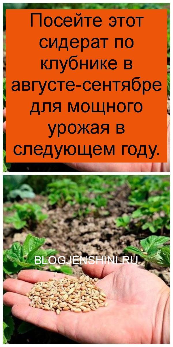 Посейте этот сидерат по клубнике в августе-сентябре для мощного урожая в следующем году 4