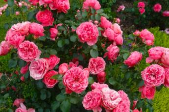 Простое и недорогое удобрение для роз, благодаря которому мой розарий выглядит шикарно 1