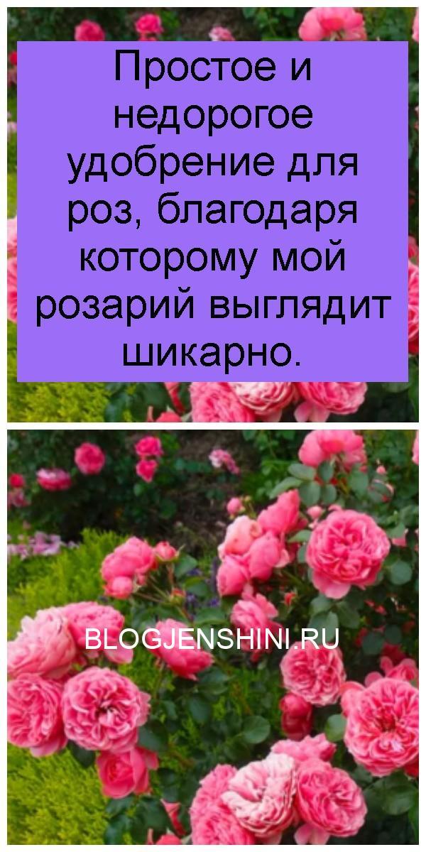 Простое и недорогое удобрение для роз, благодаря которому мой розарий выглядит шикарно 4