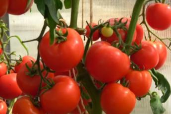 Ультраранний и урожайный томат, который при этом еще и низкорослый, для защищенного грунта 1